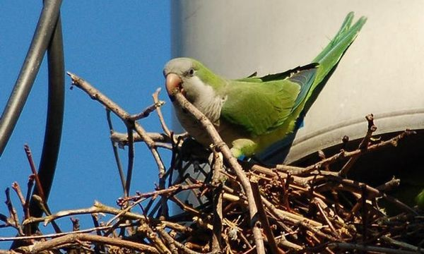 Parrots Are Making U.S. Home